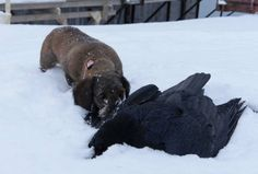 a dead raven in the snow
