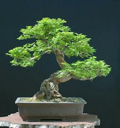 ‍♀️Bonsai More Pins Like This At FOSTERGINGER @ Pinterest ‍♀️