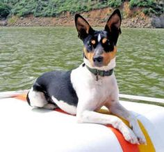 RAT TERRIER=This loyal, active and playful breed is at its best as a member of its human family, but may be reserved with strangers. Intelligent and trainable, many Rat Terriers excel in Agility and Obedience, events which also serve as excellent exercise outlets.