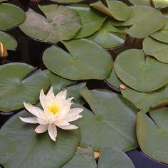 Lily pond at the Getty Villa #waterlily #lilypad #pond #losangeles #malibu #california #flowers #beautiful #nofilter
