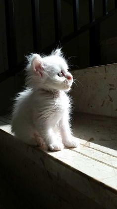 Cute Things for Cats White Kittens, Cute Cats And Kittens, Baby Cats, I Love Cats, Cool Cats, Kittens Cutest, Baby Animals, Cute Animals, Ragdoll Kittens