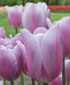 Triumph Tulip Mistress Mystic--One of the most extraordinary colors ever, Mistress Mystic is coveted for her elegantly shaped, almost phosphorescent silver-lavender blooms that are accented with a striking rose-lavender flame. She is most beguiling.