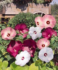 295 best plants hibiscus images hibiscus beautiful flowers rh pinterest com