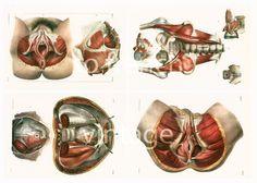 29X40cm  Muscles Bassin Périnée Pelvis, Copie Planche Anatomique Bourgery…
