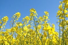 There's a fairly pervasive misconception that all canola is genetically modified, but this is not true! Non-GMO canola does exist and when you see canola in a product bearing the Butterfly, you can rest assured that it's non-GMO.