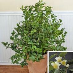 Poze Camellia Sinensis-Planta de ceai