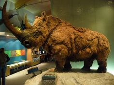 Woolly Rhinoceroses (Coelodonta antiquitatis) first made their debut roughly 350,000 years ago during the Pleistocene epoch, which spanned from 2.59 million to 11,700 years ago. The Woolly Rhinos ate mostly low growing herbaceous vegetation, and were spread throughout in the mammoth steppe, a vast dry and cold region stretching all the way from Spain in the west to eastern Siberia in the east, and from subarctic latitudes in the north to the Mediterranean, southern Siberia