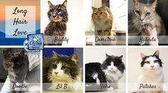 This Wednesday, lets take a look at some of the long hair cats available for adoption through CDR&CK. Long hair kitty are the best for petting! Their luscious fur will keep you nice and warm. Get ready for a life time of cuddles with one of these long haired cats!  Buddy- https://www.facebook.com/pg/CityDogsRescue/photos/?tab=album&album_id=1616325945071666  Demetria- https://www.facebook.com/pg/CityDogsRescue/photos/?tab=album&album_id=1568276726543255  Kalinda…