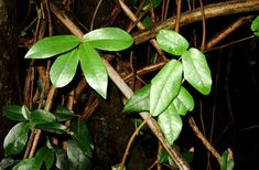 The Sneaky Life of the World's Most Mysterious Plant