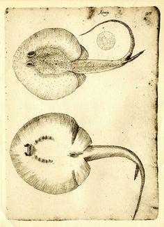 Stingray Fish Sketch Drawing Vintage Facsimile by CarambasVintage