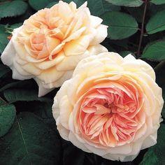 A Shropshire Lad® - David Austin® English Roses - Roses - Heirloom Roses Roses David Austin, Austin Rose, Shropshire Lad Rose, Shrewsbury Shropshire, Roses For Shade, Rose Meilland, David Austen Roses, Rose Foto, Ronsard Rose