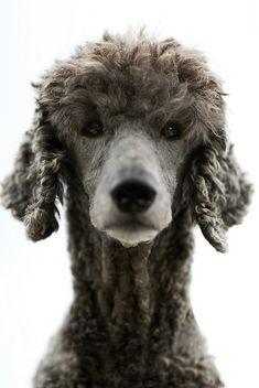 Poodle Portrait