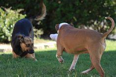 Intuitivement nous savons tous que la queue du chien exprime son état émotionnelle et psychique. Lorsqu'elle est levé, il est dominant; lorsqu'elle est sous le ventre, il est soumis; lorsqu'elle est battante, il est joyeux. Mais si nous savons inconsciemment que le chien communique en battant la queue ou en la positionnant, nous n'avons jusqu'alors pas pu démontrer les informations qu'il voulait faire passer par son intermédiaire