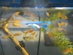 Guppies eating mosquito larvae - YouTube