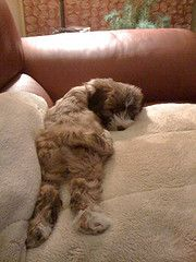 "Tibetan Terrier ""Minnie"": Don't you even think of bugging me, Mom, while I am napping!"