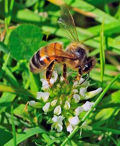 We need Bees. The Earth would no longer BEE if we did not have them. If Humans were to vanish, the world would go on and on and on........