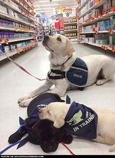 Service dogs in training.