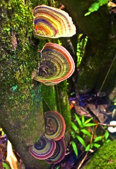 Beautiful turkey tail mushrooms and green moss.  The colors of the mushrooms are amazing.