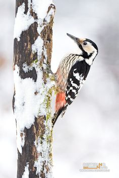 https://flic.kr/p/Sxesbh | White-backed Woodpecker | Dendrocopos leucotos, Picchio dorsobianco - White-backed Woodpecker  Poland