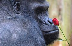 No Heart-Ape for this Gorilla as he receives a Valentine's Rose from a Secret Admirer at Chessington Zoo...