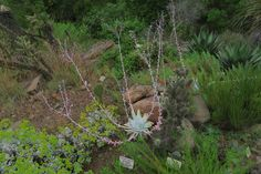 Dudleya anthonyi. It takes more than one photo to show the splendor of this Dudleya.  1) The plant in bloom.