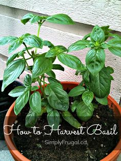 Have a basil plant and you're wondering how to harvest it?  This tutorial will show you how to harvest basil and create a bushy plant!
