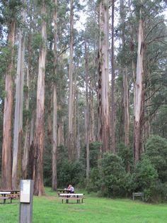 The Dandenong Ranges. Camping Outdoors, Go Camping, Outdoor Camping, Melbourne Victoria, Victoria Australia, Australia Capital, Magic Memories, Tree Tunnel, Australian Capital Territory