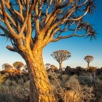Quiver Tree Forest at sunrise, © Rafael Rojas Fine Art Photography, Landscape Photography, African Tree, Tree Forest, Quiver, Sunrise, Workshop, Trees, Amazing