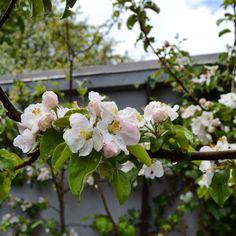 My Bramleyapple tree flowers