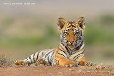 Puiut de tigru !