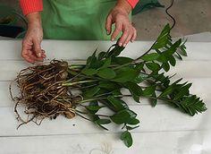 Chceli by ste si do peňaženky pritiahnuť viac peňazí? Vyskúšajte strom na peniaze! | Báječné Ženy Zz Plant, Home And Garden, Herbs, Gardening, Boho, Flowers, Feng Shui, Tips, Ideas