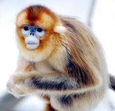 Snub nosed monkey face.