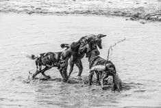 Wild dog pups playing in water in the Okavango. Prints available on either a fine art textured paper or a fine art canvas