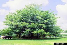 The West Indian Almond - Terminalia catapp a, is a deciduous tree that reaches heights of around 75 feet. It grows in an erect form, gene. West Indian, Deciduous Trees, South Florida, Almond, Coastal, Environment, Country Roads, Green