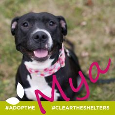 "To quote our friends over at Fur-Ever Home Rescue MN, Mya is just a love! She's had a rough life but despite requiring slower introductions to new people and dogs (cats not recommended) she just loves to snuggle or cuddle up with her ""stuffies"" plus we heard she's a great kisser! ;) Find out more at:  http://www.fureverhomerescue.com/?utm_campaign=coschedule&utm_source=pinterest&utm_medium=NorthlandNaturalPet%20"