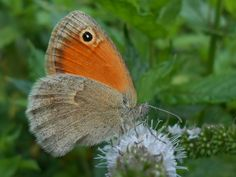 Coenonympha pamphilus - null