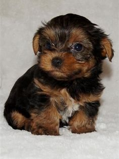 Yorkies puppy Yorkshire