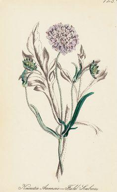 1863 Antique FLOWER print handcolored by TwoCatsAntiquePrints, $18.50