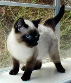 Seal point Siamese - someday I'll have one!