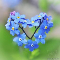 17 best forget me nots images on pinterest beautiful flowers something blue forget me not heart in nature i love this mightylinksfo