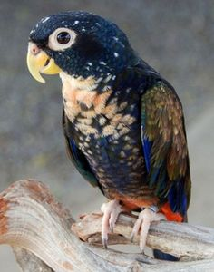Bronzed-Winged Pionus  The bronze-winged pionus is a remarkably colored parrot that is endemic to northwestern South America.