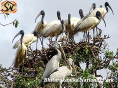 Visit Bhitarakanika National Park in Odisha, 142 kilometre distance from the capital of Orissa Bhubaneswar. see crocodile sanctuary, plan your tour with best wildlife tour packages by Shakuntala Tours and Travels, stay at luxurious hotels in Balasore, Panchalingeswar. Know more @http://goo.gl/w8t61g