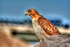 """"""" Trail Hawk"""" I have a long story behind this photo so I will make it short. Driving home going south on 59 Hwy in Ottawa,Kansas and I looked over to see this Hawk. I stopped and took my time to get with in 8 ft. of him to take this photo in HDR."""