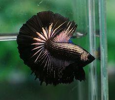 Black gold Betta