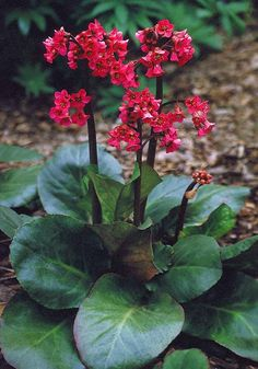 Plants for shade: elephant's ears (Bergenia cordifolia 'Winterglut'). Lush, deep-green leaves emerge in spring and turn red in autumn. Grow it in partial shade. Read more about them on our website http://www.gardenersworld.com/plants/bergenia-x-schmidtii/1225.html