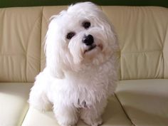 Pretty white Havanese