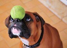 boxer dog ball