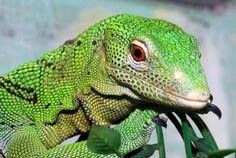 Khan the Lizard #airesford {Green tree monitor lizard (Varanus prasinus) by Jürgen Zerbe - Pixdaus}