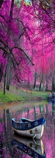 Boat on beautiful lake surrounded by gorgeous fuschia pink trees