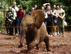 This is so much fun! An orphaned baby elephant runs through the mud at the David Sheldrick Wildlife Trust Nursery in Nairobi National Park, Kenya.